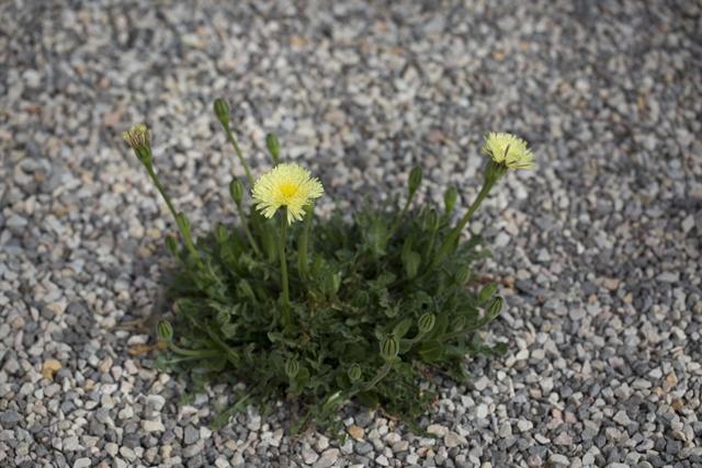 Blumenkies