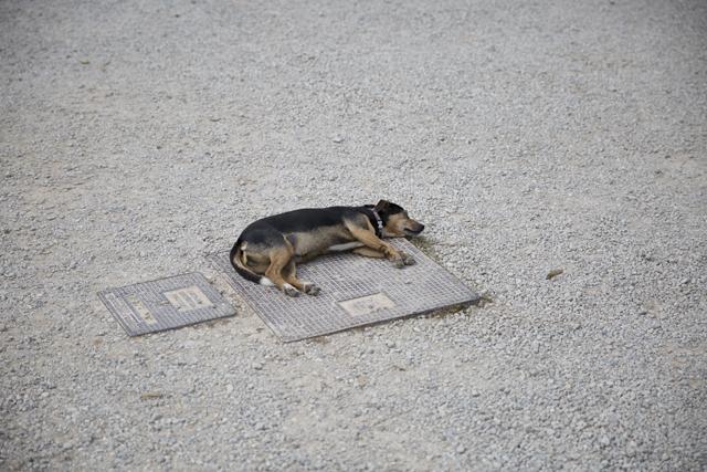 Dog_Siesta